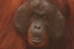 orangutans_gallery_10_20140516_1058195819