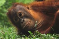 orangutans_gallery_10_20140516_1559330796