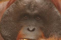 orangutans_gallery_11_20140516_1560862499