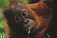 orangutans_gallery_11_20140516_1908138516