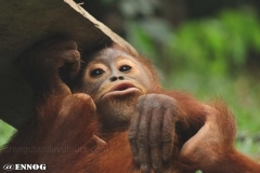 orangutans_gallery_12_20140516_1281939374