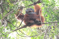 orangutans_gallery_12_20140516_1824684693