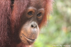 orangutans_gallery_13_20140516_1120355695