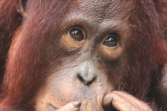 orangutans_gallery_1_20140516_1639316644