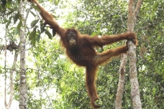 orangutans_gallery_1_20140516_1758942685