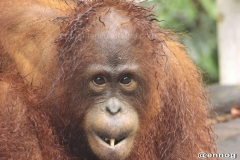 orangutans_gallery_2_20140516_1372229737