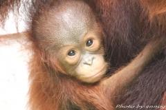 orangutans_gallery_2_20140516_1605121970