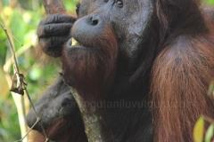 orangutans_gallery_2_20140516_1785978934