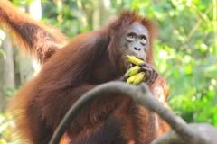 orangutans_gallery_3_20140516_1233982099