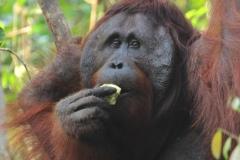 orangutans_gallery_3_20140516_2064155354
