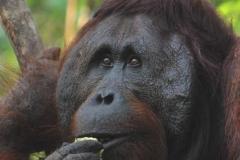 orangutans_gallery_4_20140516_1122771722