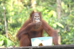 orangutans_gallery_4_20140516_1351477910