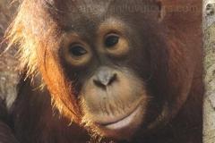 orangutans_gallery_5_20140516_1044714958