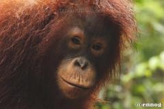 orangutans_gallery_5_20140516_1889586555