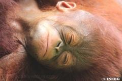 orangutans_gallery_6_20140516_1103623552