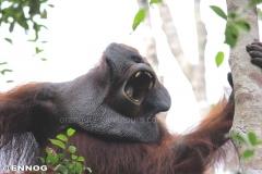 orangutans_gallery_7_20140516_1097692959
