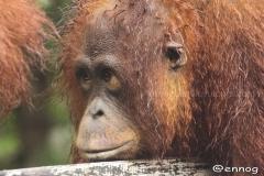 orangutans_gallery_7_20140516_1144469250