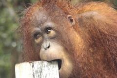orangutans_gallery_8_20140516_1074329679