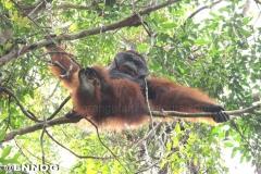 orangutans_gallery_8_20140516_1199539576