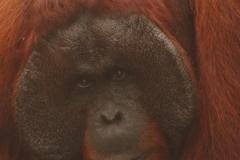 orangutans_gallery_8_20140516_2009341711