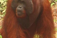 orangutans_gallery_9_20140516_1116875720