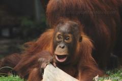 orangutans_gallery_9_20140516_1172844825