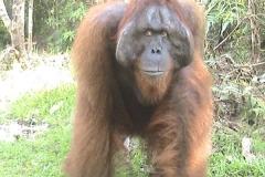 orangutans_tours_1_20140516_1603527312